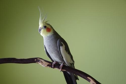 Conseils NAC - La perruche